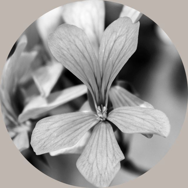 Rose Geranium Flower Oil