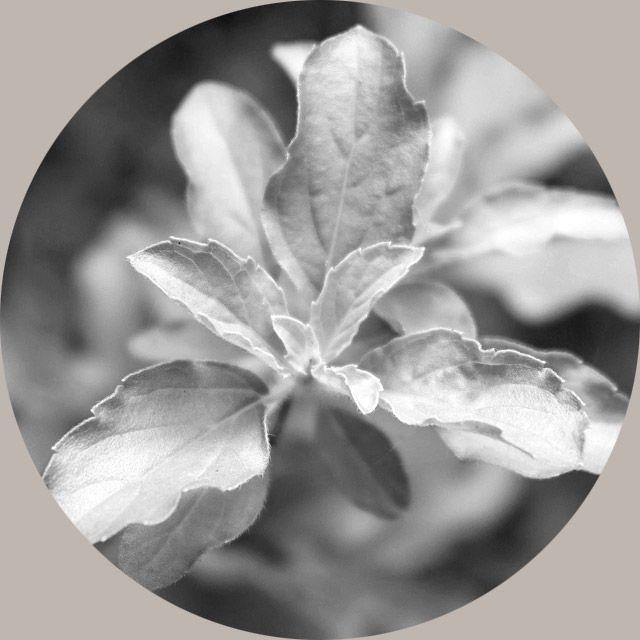 Tulsi / Holy Basil Leaf Extract