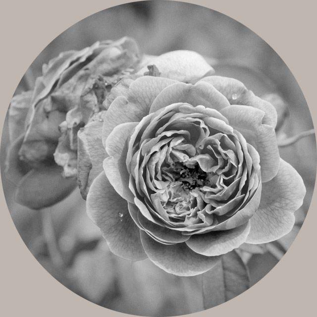 Rose Organic Flower Extract