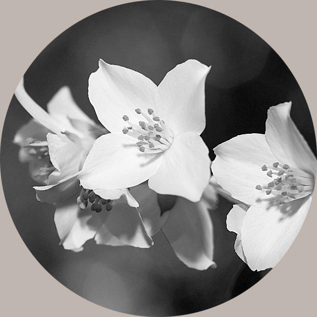 Jasmine Flower Extract